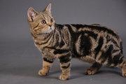 Шотландский прямоухий котик (скоттиш страйт)
