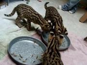 африканский сервала,  саванны F1-F5,  оцелоты и caracl продажа котят